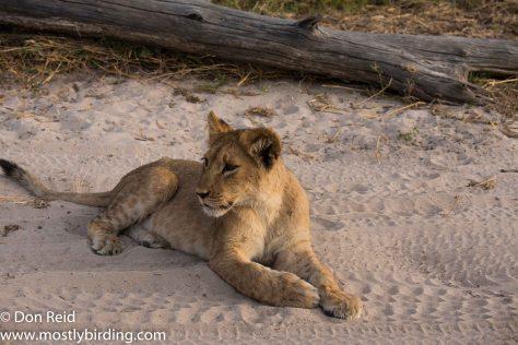 A dozen lions, Chobe Riverfront July 2017