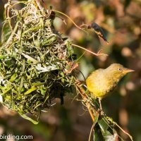 Nest building 101 - Cape Weaver does his thing