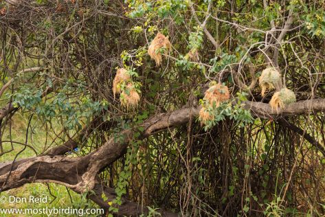 African Golden Weaver nests, Chobe River trip
