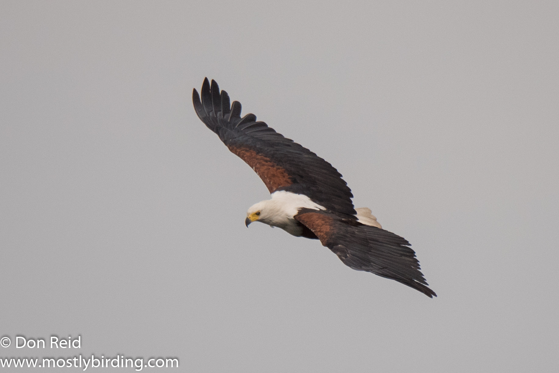 African Fish-Eagle, Chobe River trip
