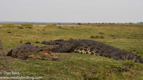 Crocodile, Chobe River trip