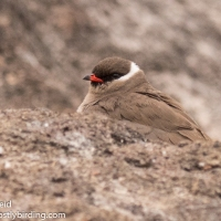 Chobe River Birding - Pratincoles, Storks and other delights