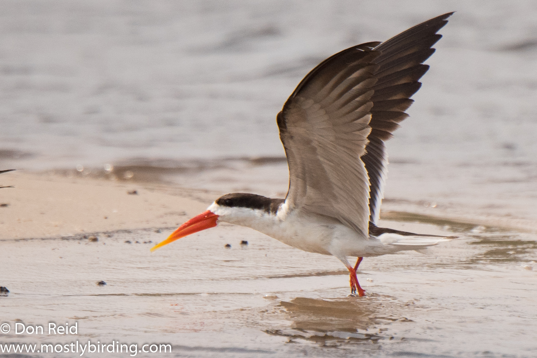 African Skimmer, Chobe River trip