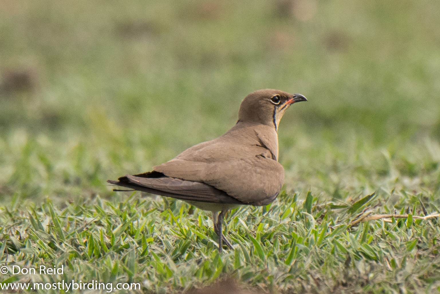 Collared Pratincole, Chobe River trip