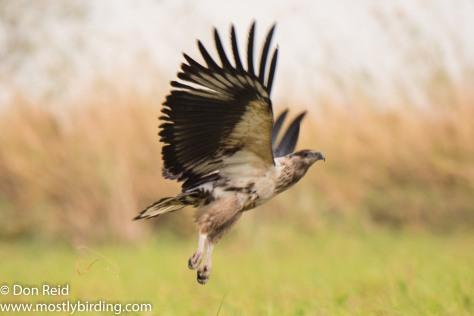 African Fish-Eagle (Juvenile) Chobe River trip