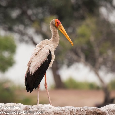 Yellow-billed Stork, Chobe River trip