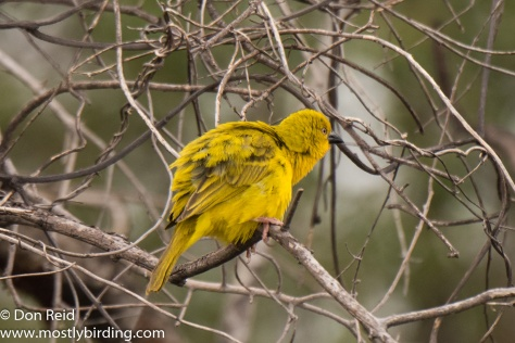 African Golden Weaver (Male), Chobe River trip