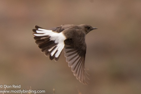 Mountain Wheatear (female), Oudtshoorn south