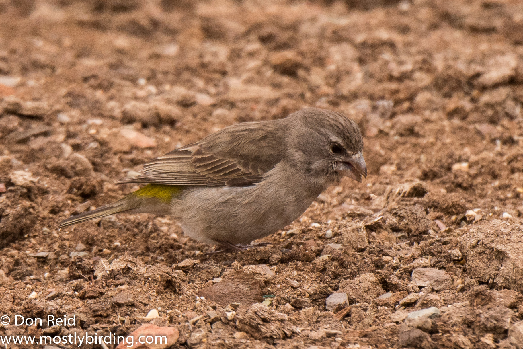 White-throated Canary, Oudtshoorn south