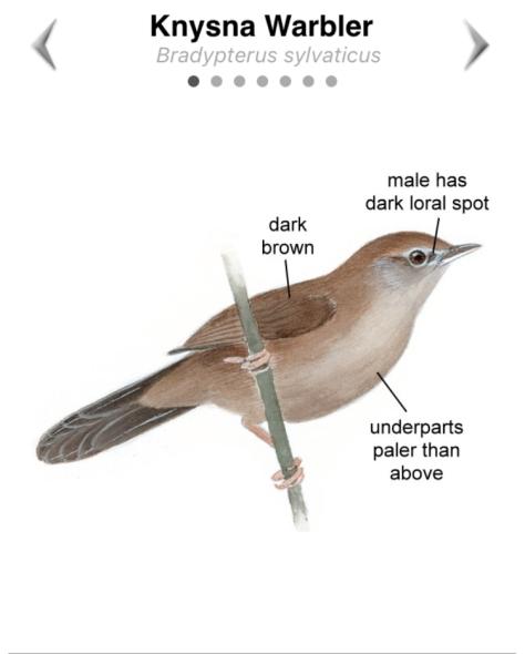 Knysna Warbler
