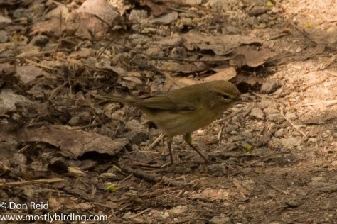 Common Chiffchaff, Prague