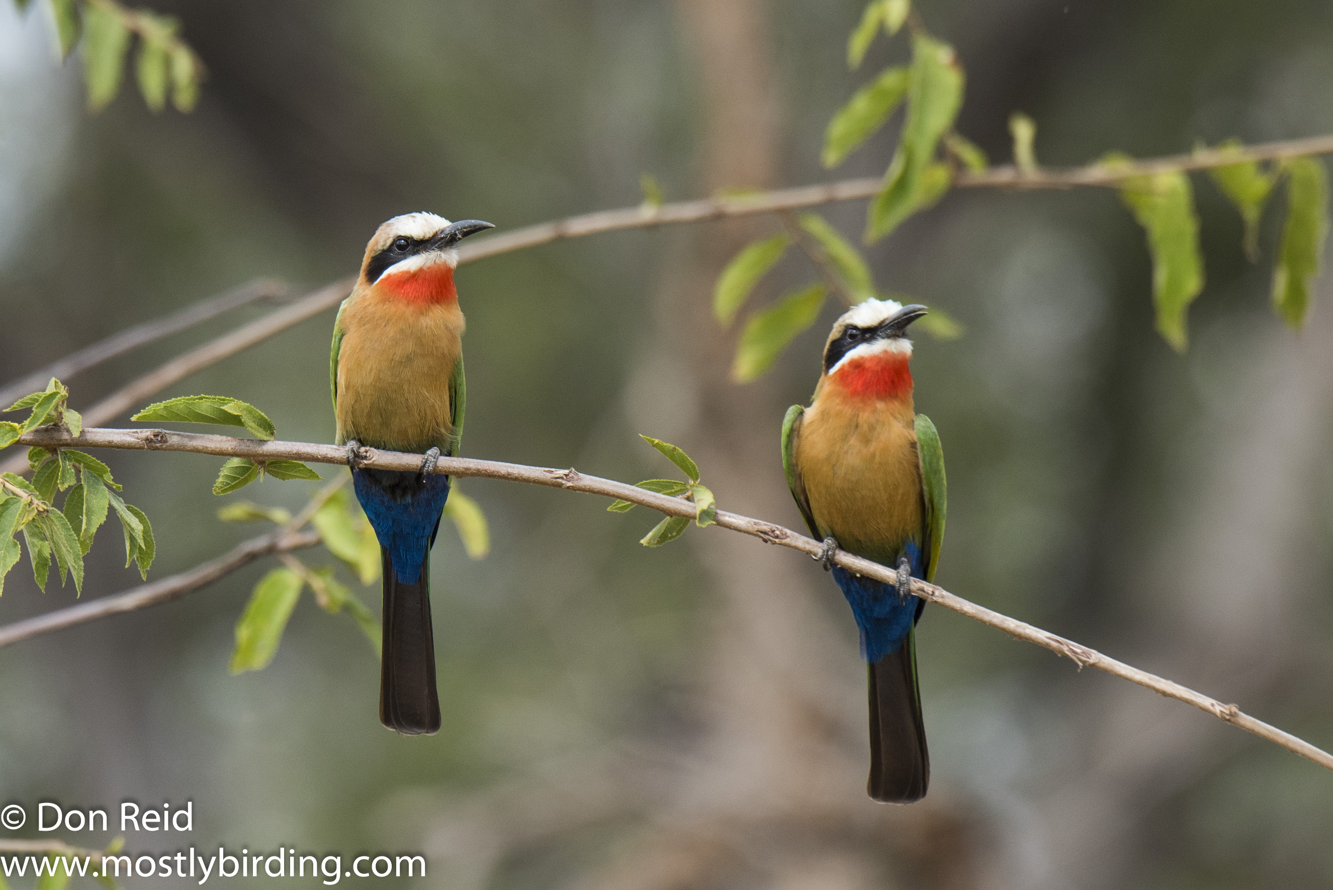 White-fronted Bee-eater, Kruger Day Visit