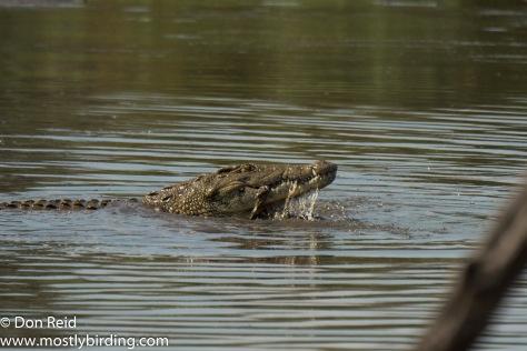 Crocodiles after kill at Lake Panic, Kruger Day Visit