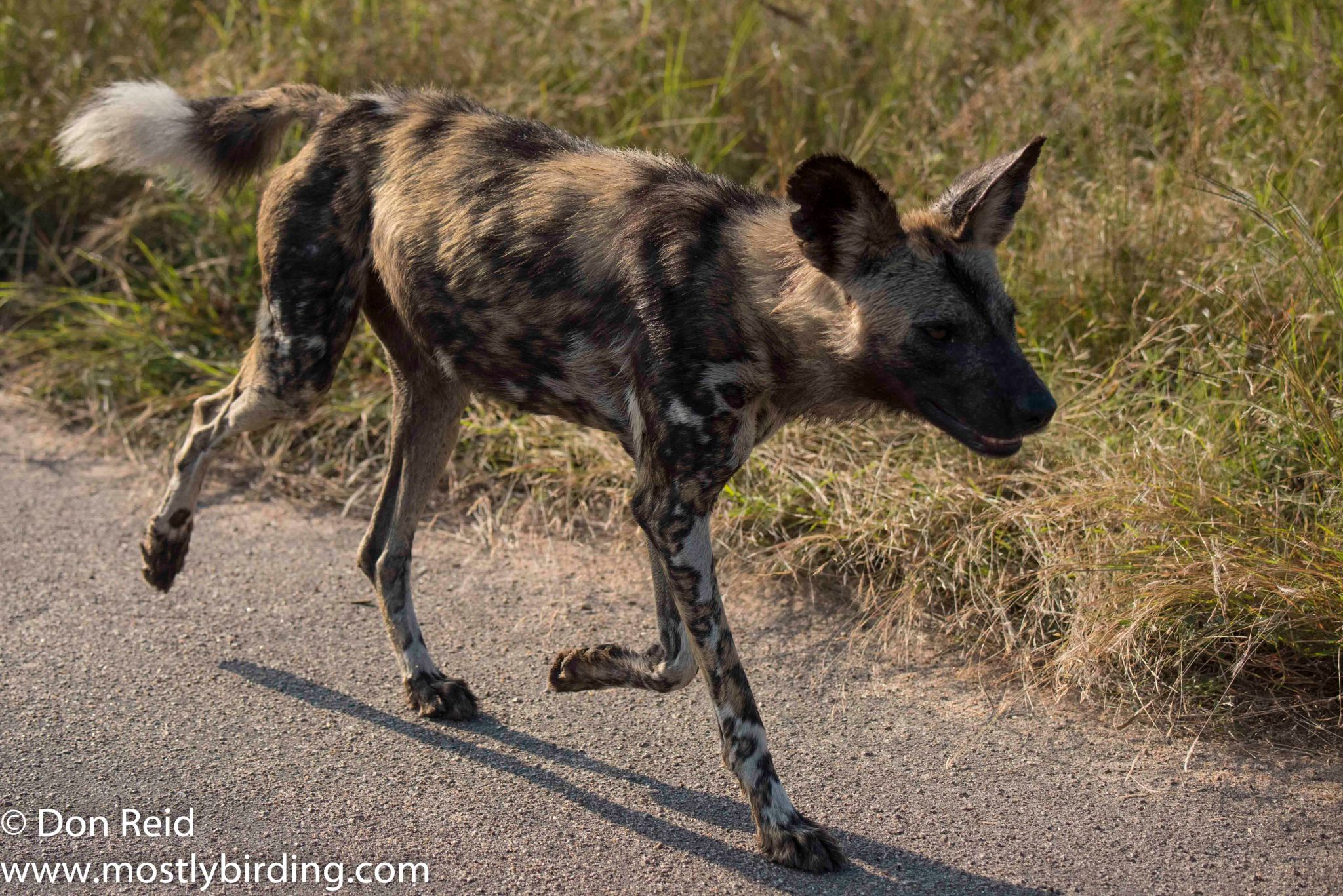 African Wild Dog, Kruger Day Visit