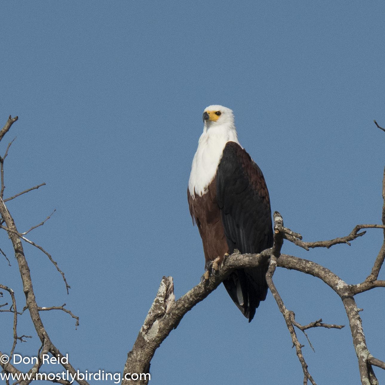 African Fish Eagle, Kruger Day Visit
