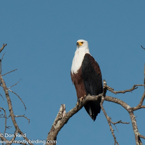 African Fish Eagle, Kruger Day Visit