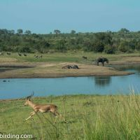 Kruger for a day - Painted wolves and a weary Lion