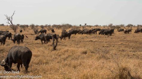 Buffalo herd, Kruger Park