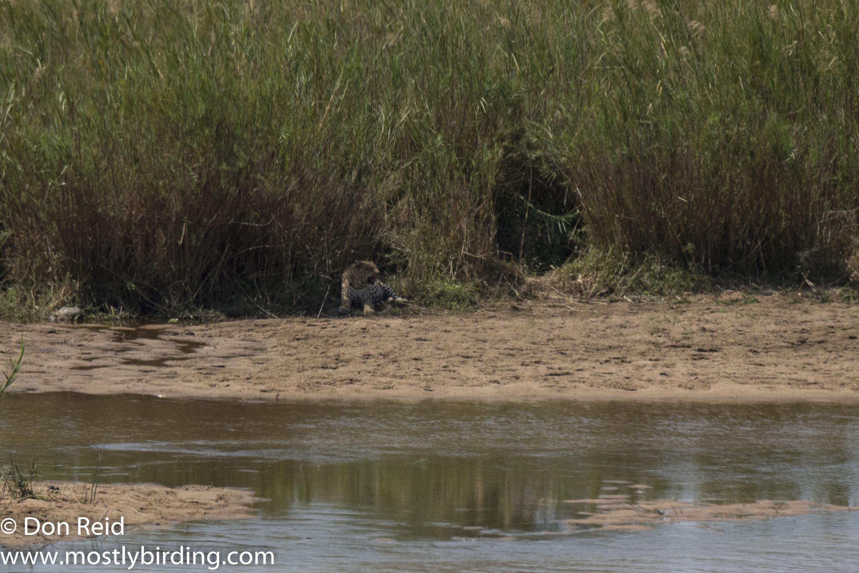 Leopard, Sabie River, Kruger Park