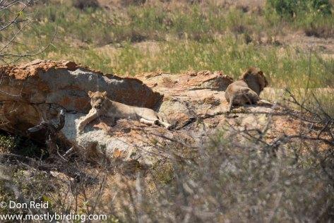 Lion, Kruger Park