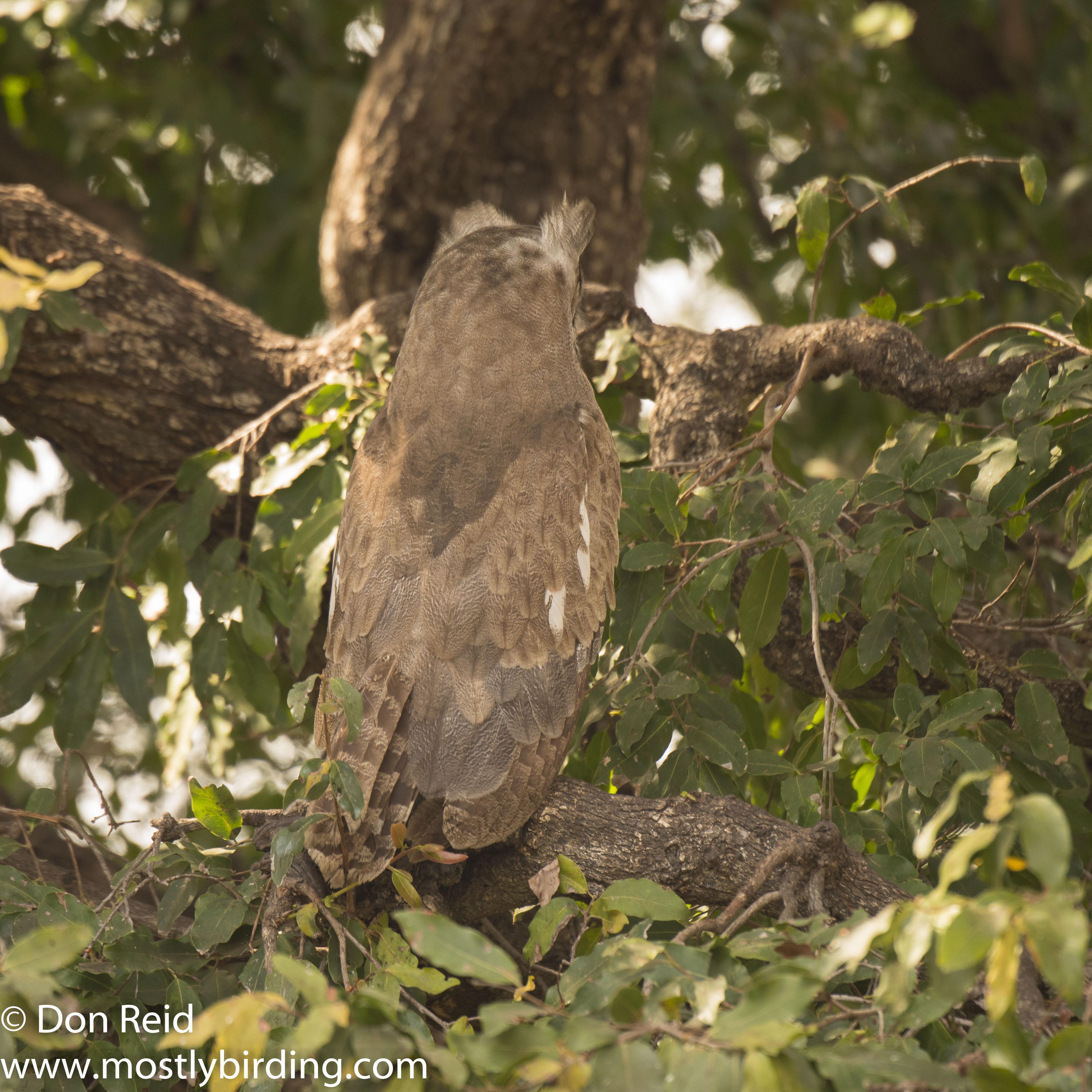 Verraux's Eagle-Owl, Kruger Park
