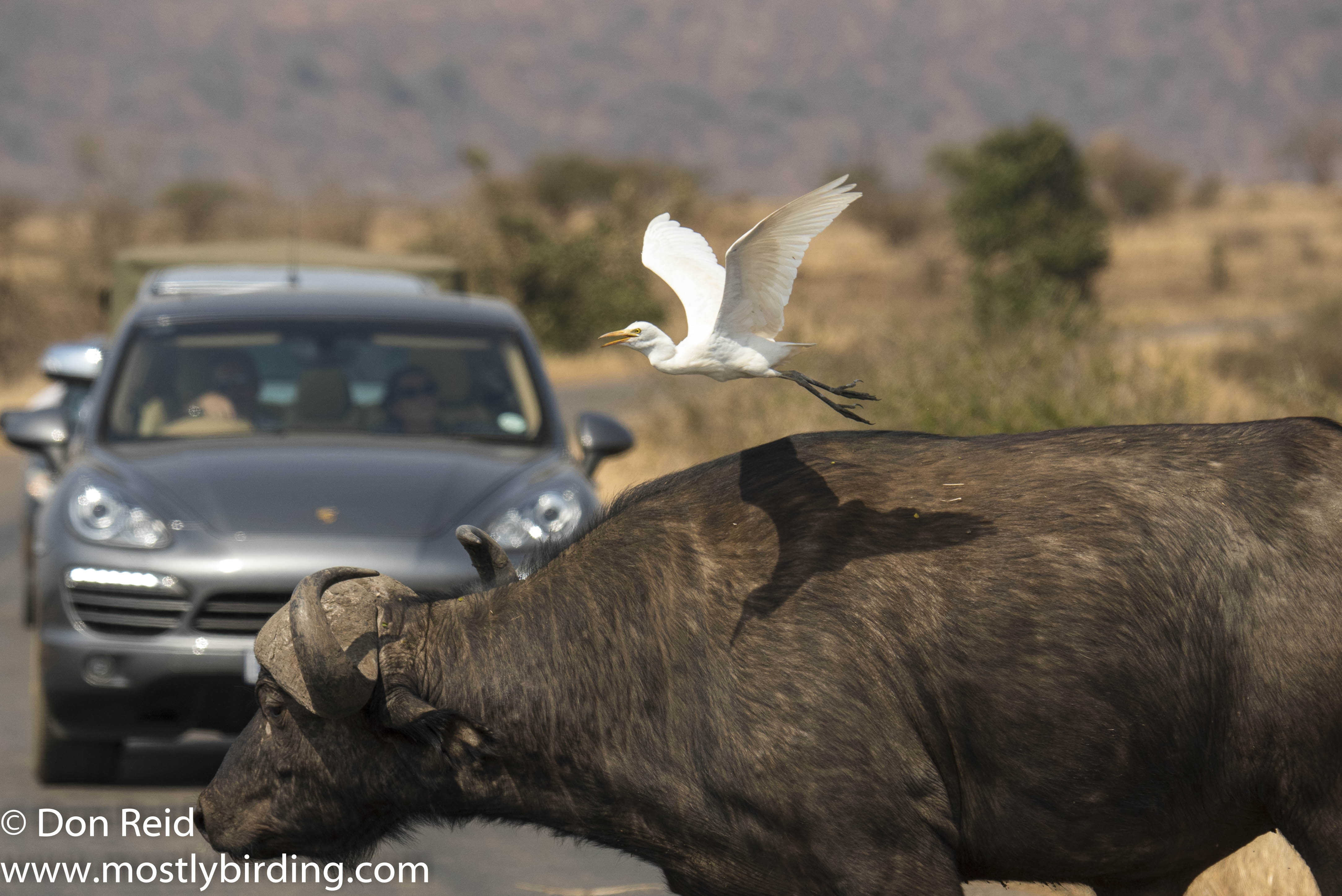 Cattle Egret on Buffalo, Kruger Park