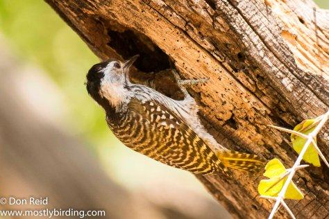 Cardinal Woodpecker (female), Mkhulu,  Kruger Park