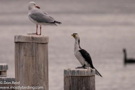 Little Pied Cormorant, Paynesville & Raymond Island, Victoria