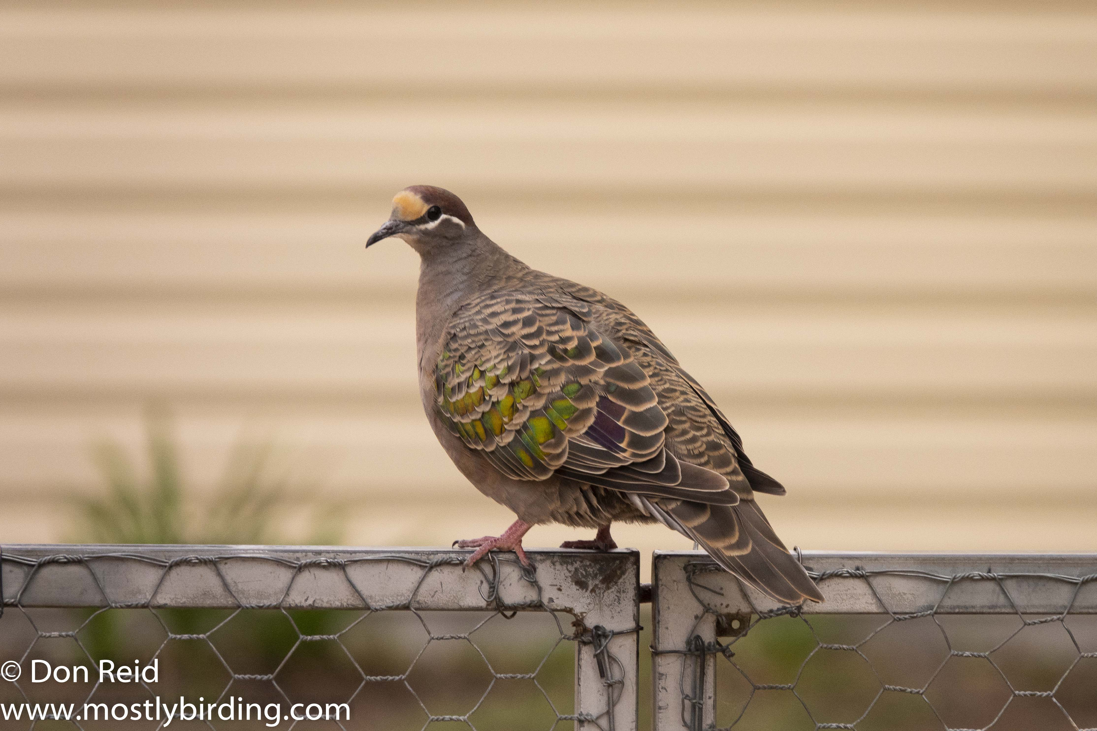 Common Bronzewing, Raymond Island, Victoria