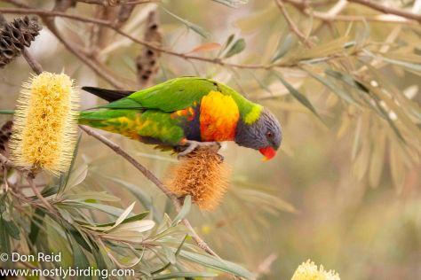 Rainbow Lorikeet, Raymond Island, Victoria