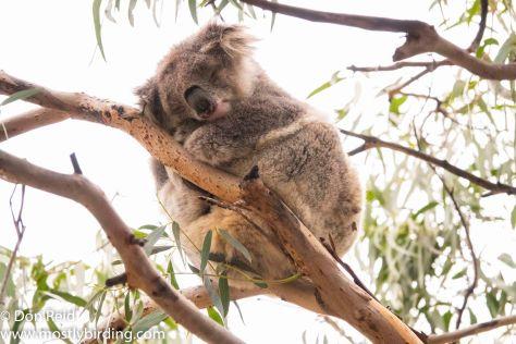 Koala, Raymond Island, Victoria