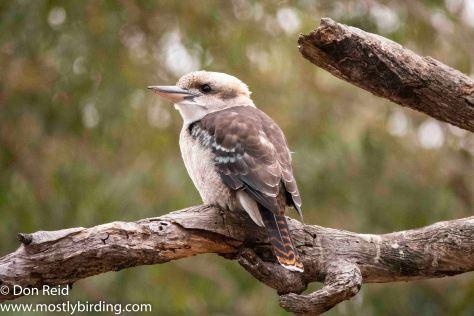 Laughing Kookaburra, Raymond Island, Victoria
