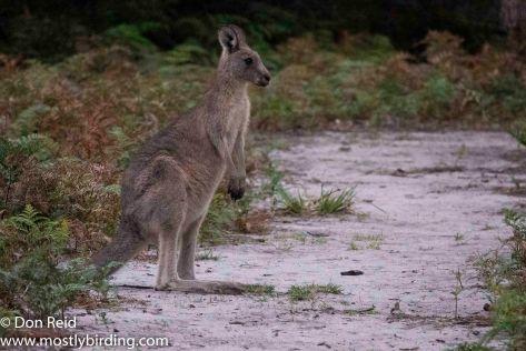 Eastern Grey Kangaroo, Raymond Island, Victoria