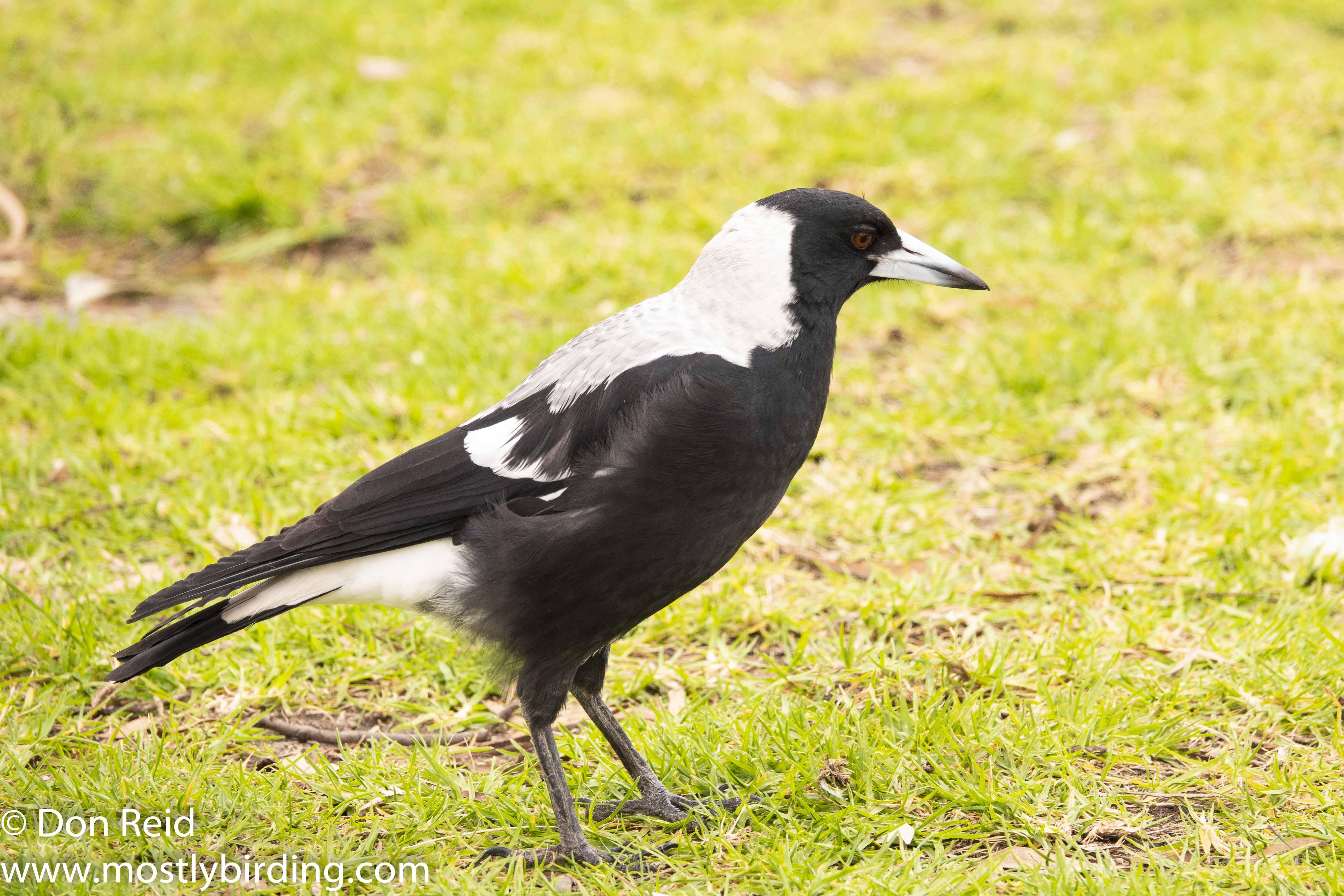 Australian Magpie, Paynesville & Raymond Island, Victoria