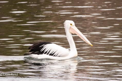 Australian Pelican, Paynesville & Raymond Island, Victoria