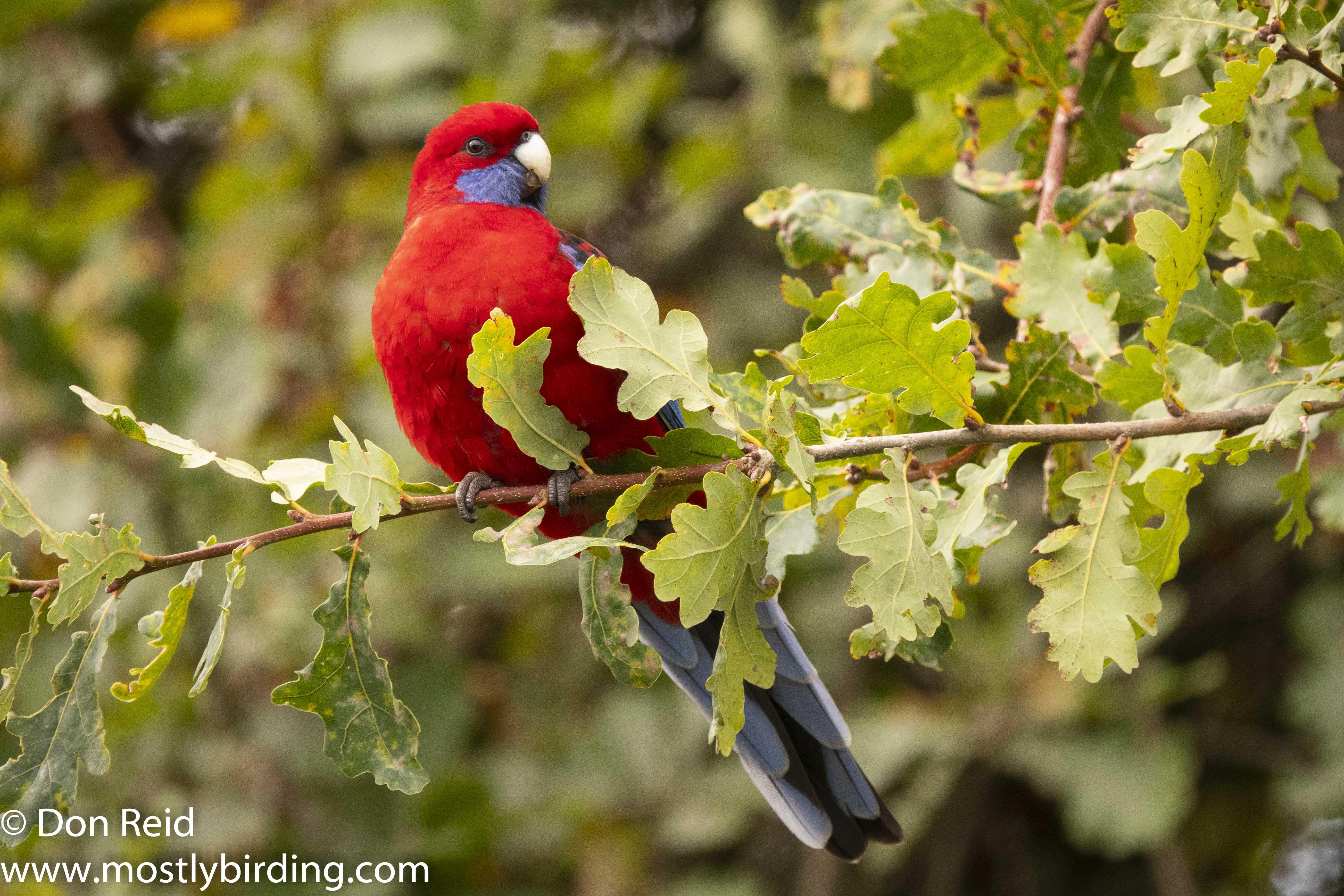 Crimson Rosella, Sassafras